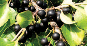 common-buckthorn-fruit