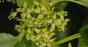 common-buckthron-flower