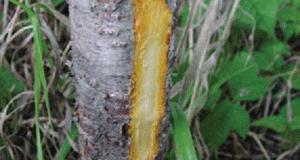 common-buckthorn-bark