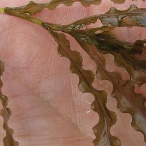 Curly Leaf Pondweed - Montana Weed Control Association