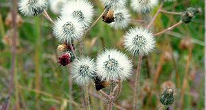 orange-hawkweed-dormant
