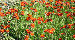 orange-hawkweed-field