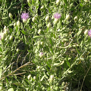 Russian Knapweed Montana Weed Control Association