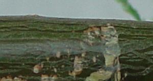 SC_leavesstem