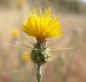 Yellow startthistle montana weed control association dewey starthistle mightylinksfo